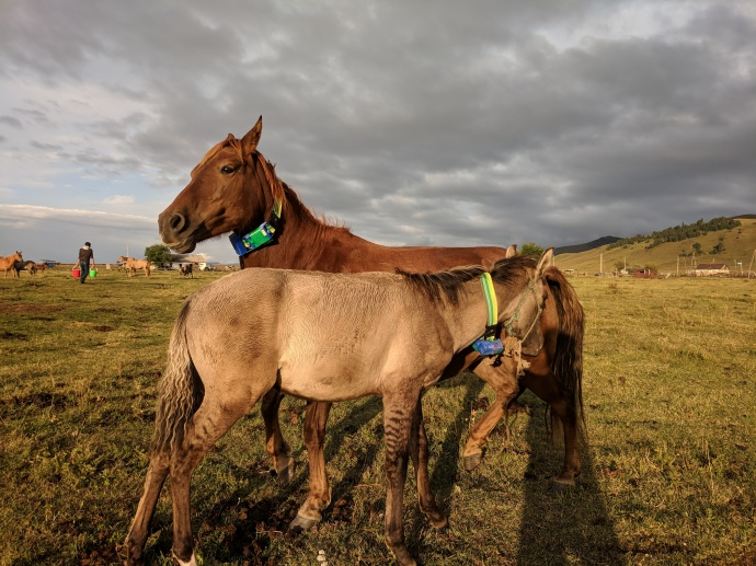 GPS tracking technology to prevent cattle loss, raiding in Almaty Region